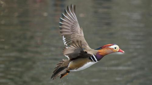 Mandarin Duck  NYC Dennis Newsham 2018 3538