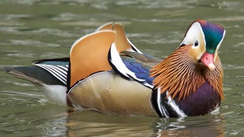 Mandarin Duck  NYC Dennis Newsham 2018 5339